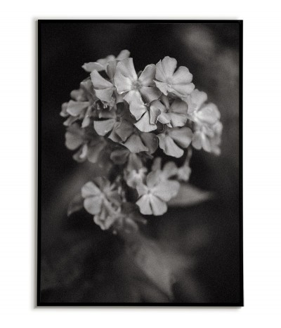 Black and white botanical poster with a hydrangea flower. Wall graphics