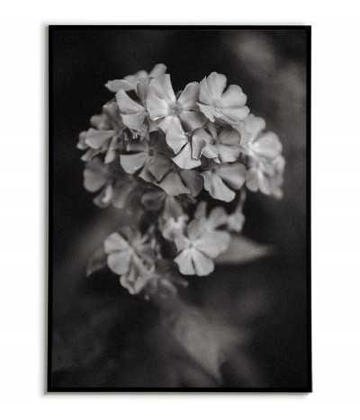 Plakat botaniczny czarno biały z kwiatem Hortensja. Grafika na ścianę