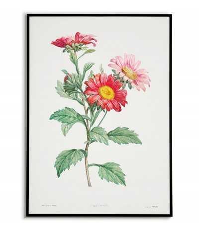 Plakat botaniczny z kwiatem Aster w stylu vintage. plakat ręcznie malowany z roślina, kwiatem