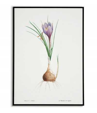 Niebieski irys plakat botaniczny ręcznie rysowany z . Grafika na ścianę do salonu w stylu vintage z kwiatem.