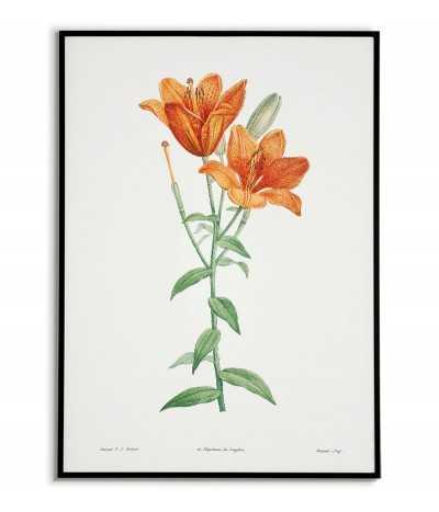 pomarańczowa Lilia plakat botaniczny ręcznie rysowany z . Grafika na ścianę do salonu w stylu vintage z kwiatem.