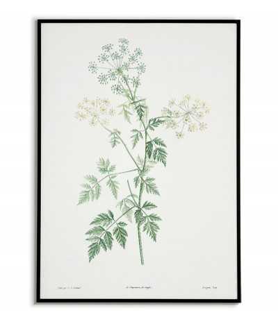Zielona roślina Cykuta plakat botaniczny ręcznie rysowany z . Grafika na ścianę do salonu w stylu vintage z kwiatem.