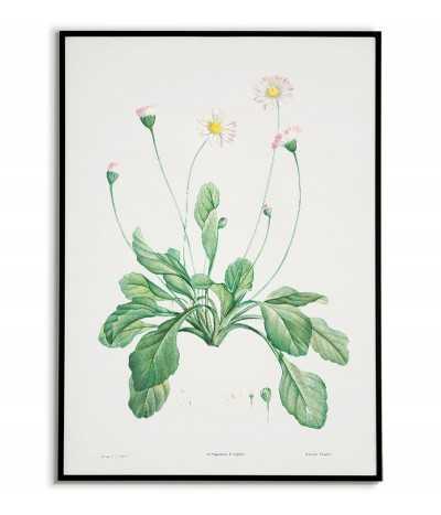 Kwiat stokrotka plakat botaniczny ręcznie rysowany z . Grafika na ścianę do salonu w stylu vintage z kwiatem.