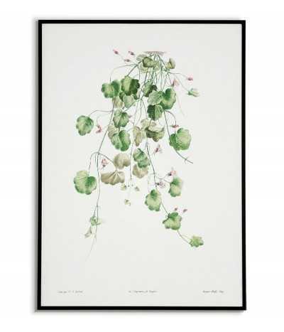 Cymbalaria bluszczykowata plakat botaniczny ręcznie rysowany z . Grafika na ścianę do salonu w stylu vintage z kwiatem.