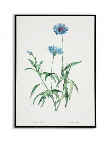 Niebieski chaber plakat botaniczny ręcznie rysowany z . Grafika na ścianę do salonu w stylu vintage z kwiatem.