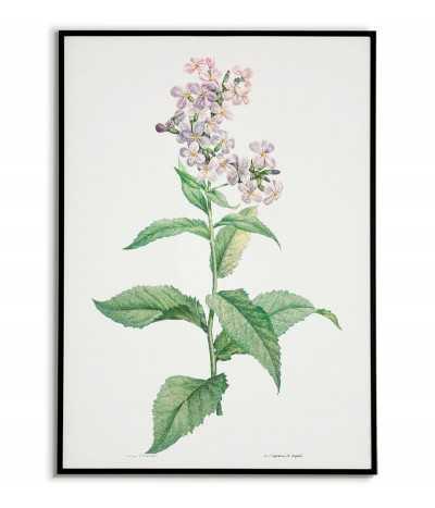 biała lewkonia plakat botaniczny ręcznie rysowany z . Grafika na ścianę do salonu w stylu vintage z kwiatem.