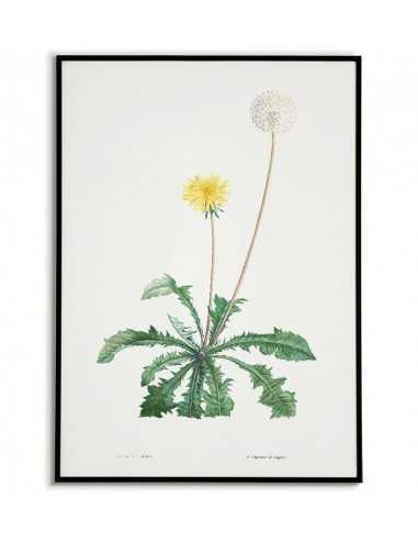 Mlecz, Mniszek Lekarski plakat botaniczny ręcznie rysowany z . Grafika na ścianę do salonu w stylu vintage z kwiatem.