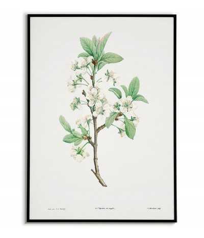 Kwiat śliwki plakat botaniczny ręcznie rysowany z . Grafika na ścianę do salonu w stylu vintage z kwiatem.
