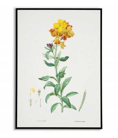 Kwiat Lak plakat botaniczny ręcznie rysowany z . Grafika na ścianę do salonu w stylu vintage z kwiatem.