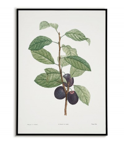 Botanical Poster - Plum...