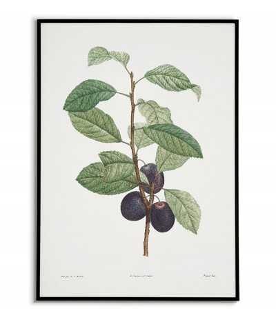 Owoc, śliwka plakat botaniczny ręcznie rysowany z . Grafika na ścianę do salonu w stylu vintage z kwiatem.