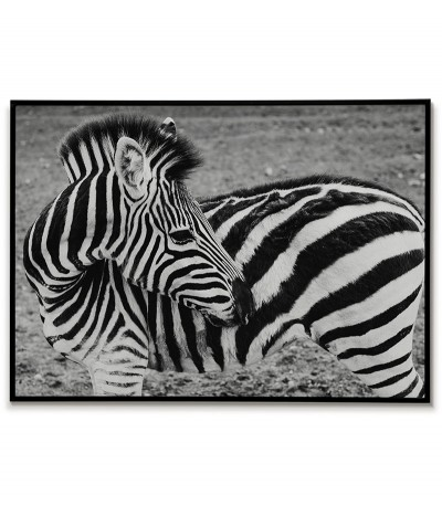 black and white zebra poster. Photographic graphics with an animal for the frame.