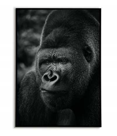 Plakat goryl, czarno biała grafika do ramki ze zwierzętami. Portret małpy, dzikiego zwierzęcia.