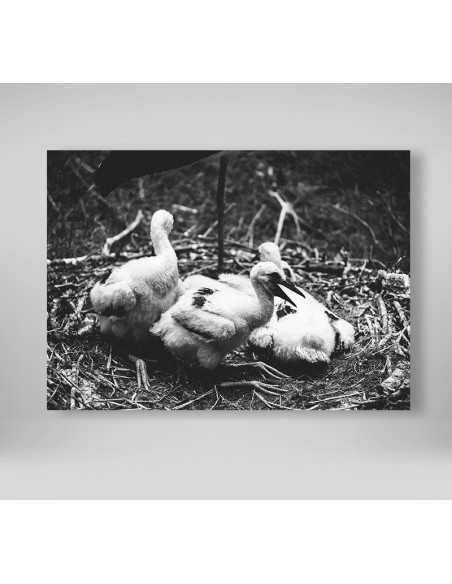 Pisklęta bociana białego - Obraz do ramki czarno biały z młodymi bocianami