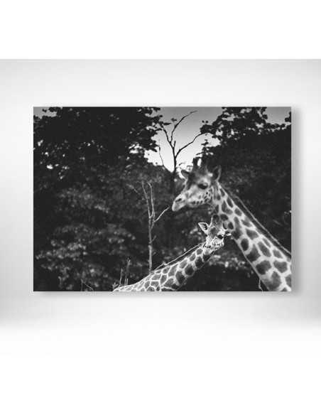 Ciekawskie żyrafy - Obraz do ramki czarno biały z dwoma żyrafami