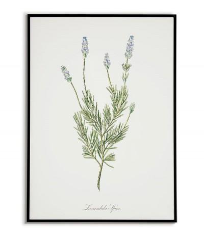 Kwiat lawenda plakat botaniczny ręcznie rysowany z Grafika na ścianę do salonu w stylu, kuchni vintage z kwiatem.